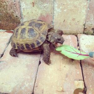 Tartaruga de estimação Antes que eles crescam